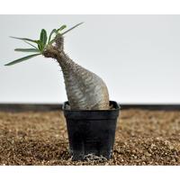 Pachypodium rosulatum var. gracilius  no.02040911〈幹幅5.6cm〉