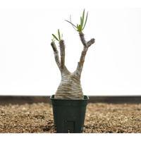 Pachypodium rosulatum var. gracilius〈幹幅6.2cm〉