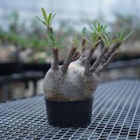 Pachypodium rosulatum var. gracilius〈幹幅14.5cm〉