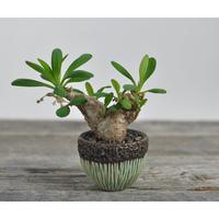Euphorbia itremensis × Tomoharu Nakagawa植木鉢  no.0204292