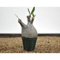 Pachypodium rosulatum var. gracilius〈幹幅8.7cm〉