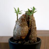 Pachypodium bispinosum   3011165