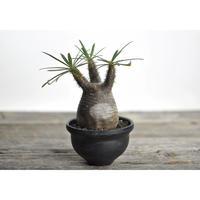 Pachypodium rosulatum var. gracilius × Tomoharu Nakagawa植木鉢〈幹幅7.2cm〉