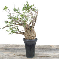 Operculicarya  pachypus × Tomoharu Nakagawa植木鉢 no.0203211