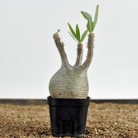 Pachypodium rosulatum var. gracilius  no.0204093〈幹幅8.3cm〉