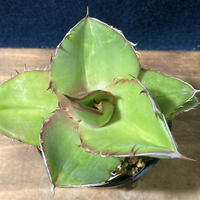 Agave titanota Seedling Select