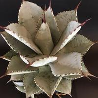 アガベ  ドラゴントゥース  仔株付き Agave  seemanniana   ssp.  pygmaea  'Dragon Toes'