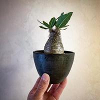 パキポディウム グラキリス(21) Pachypodium rosulatum var.gracilius