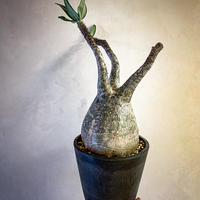 パキポディウム グラキリス(24) Pachypodium rosulatum var.gracilius