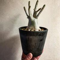 """アデニウム アラビカム """"オクトパス"""" Adenium arabicum"""