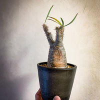 パキポディウム グラキリス(17) Pachypodium rosulatum var.gracilius
