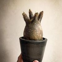 パキポディウム グラキリス(11) Pachypodium rosulatum var.gracilius