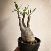 パキポディウム グラキリス(1) Pachypodium rosulatum var.gracilius