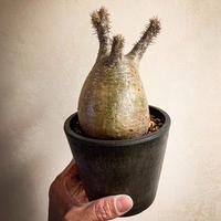 パキポディウム グラキリス(10) Pachypodium rosulatum var.gracilius
