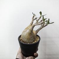 パキポディウム グラキリス Pachypodium rosulatum var.gracilius 11