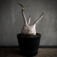 Pachypodium gracilius. パキポディウム グラキリス