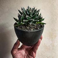 アガベ 笹の雪  Agave victoriae-reginae