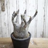 Pachypodium rosulatum var.gracilius  / パキポディウム グラキリス14