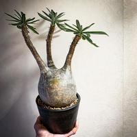 パキポディウム グラキリス(14) Pachypodium rosulatum var.gracilius