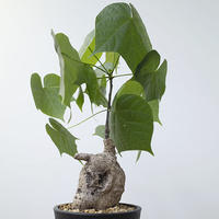 フィルミアナ コロラータ   Firmiana colorata
