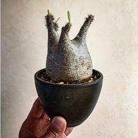 パキポディウム グラキリス(19) Pachypodium rosulatum var.gracilius