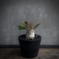 Pachypodium. Namaquanum  パキポディウム  光堂