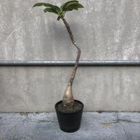 パキポディウム  ウィンゾリー Pachypodium  baronial var .windsorii