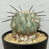 コピアポア 黒士冠 Copiapoa cinerea var. dealbata