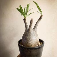 パキポディウム グラキリス(5) Pachypodium rosulatum var.gracilius
