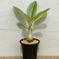 パキポディウム  ウィンゾリー Pachypodium baronii var. windsorii(実生)
