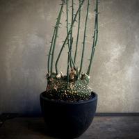 Adenia globosa アデニアグローボサ