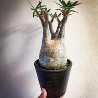 パキポディウム グラキリス(12) Pachypodium rosulatum var.gracilius