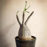 パキポディウム グラキリス(7) Pachypodium rosulatum var.gracilius