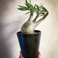 パキポディウム グラキリス(15) Pachypodium rosulatum var.gracilius