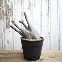 Pachypodium rosulatum var.gracilius  /パキポディウム グラキリス13
