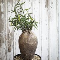 Pachypodium succulentum / パキポディウム・サキュレンタム