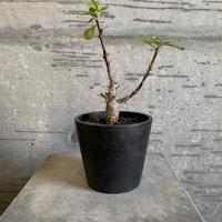 Fouquieria macdougalii フォークイエリア マクドガリー