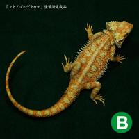 フトアゴヒゲトカゲ 完成品-B