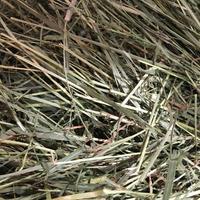 【RCオリジナル牧草】《30年度刈り》ロイヤルチモシー 100g