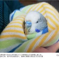 【新柄】インコ毛布