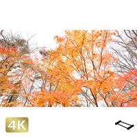 1016016 ■ 山中湖 紅葉