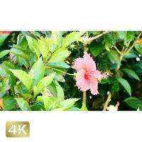 1026006 ■ 黒島 ハイビスカス