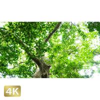 1022038 ■ 石垣島 樹木