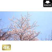 2032018 ■ 花見 桜