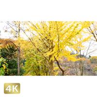 1016031 ■ 道志村 銀杏