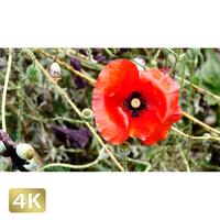 1024028 ■ 花畑 アグロステンマ