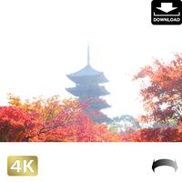 2043033 ■ 京都 東寺の紅葉