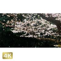 1020016 ■ 桜
