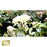 1024013 ■ 花畑 薔薇