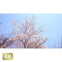 1032018 ■ 桜 増上寺
